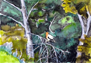 From a long way off, I followed a group of eagles settling to feed. One moved into the trees behind for long enough for a drawing.