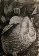 gannet nesting on Bass Rock