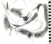mating Black headed gulls (3)