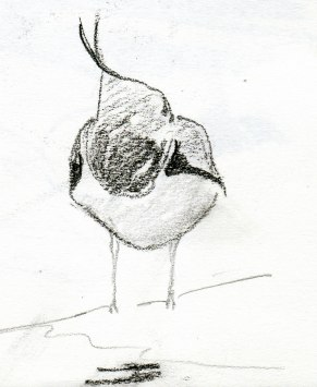 lapwing at rest