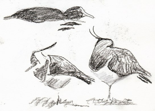 lapwings and coot