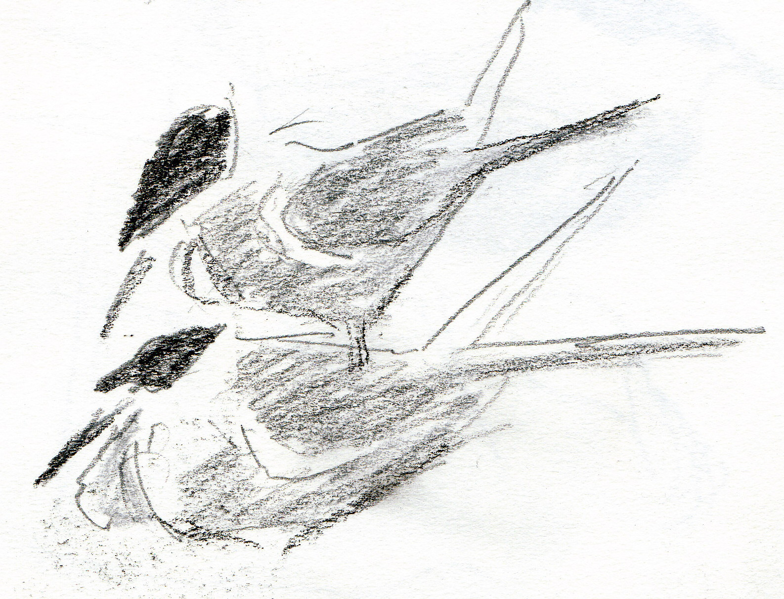 White Tern Drawing Drawing With Ink Directly Into