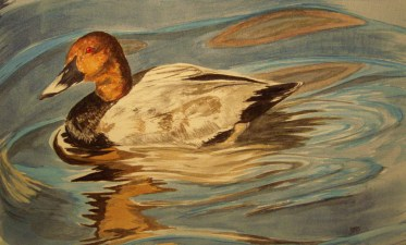 Pochard - painted from photographs