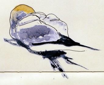 gannet nesting on Bass Rock (10)