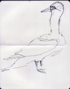 gannet nesting on Bass Rock (13)