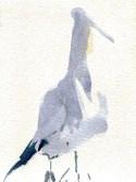 gannet nesting on Bass Rock (4)