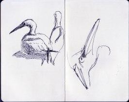 gannet nesting on Bass Rock (8)