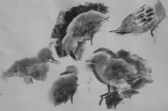 kittiwake chicks, Dunbar harbour
