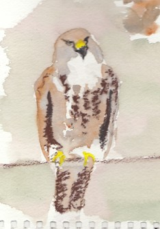 Hams Hall Buzzard (4)