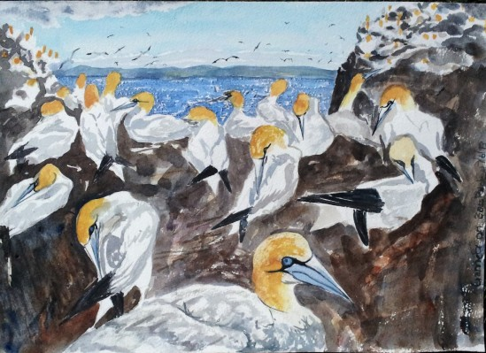 Breeding colony of gannets on Bass Rock, Scotland.