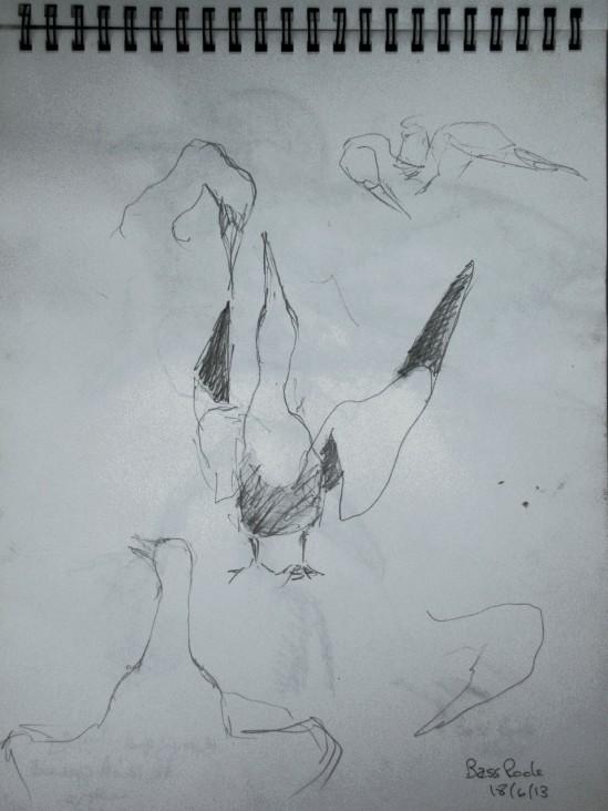20130618 Bass Rock gannets 11