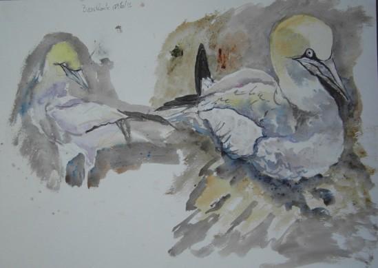 20130618 Bass Rock gannets 12