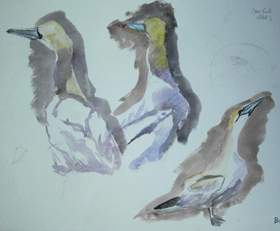 20130618 Bass Rock gannets 13