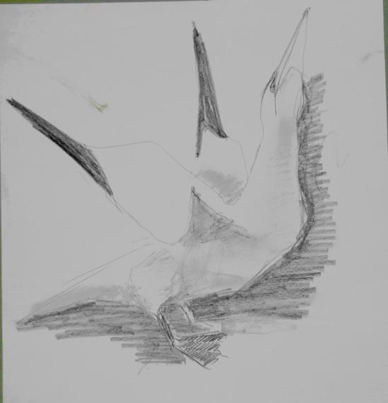 20130618 Bass Rock gannets 6