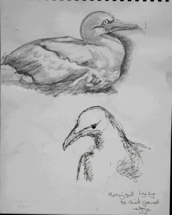 20130618 Bass Rock gannets 9