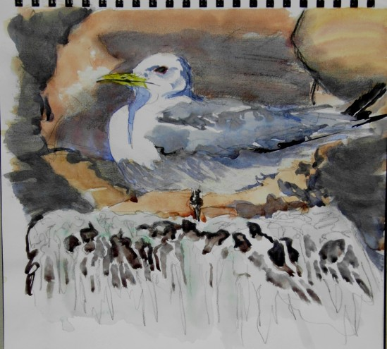Kittiwake - Dunbar harbour.  Declining numbers?