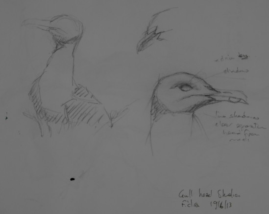 Herring gull sketches