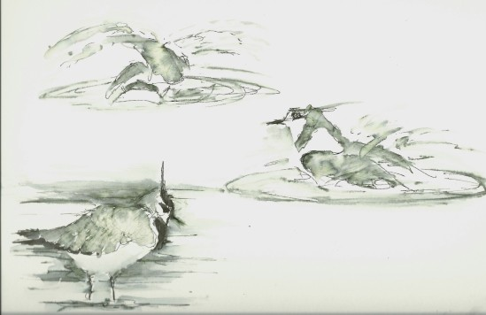 Lapwings bathing