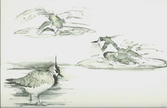 Lapwings bathing