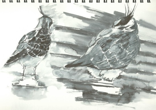 Lapwings: line and wash experiments
