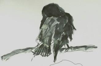 Raven preening