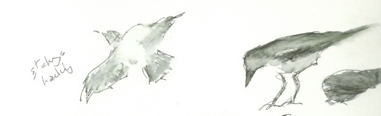 starling in flight and crow